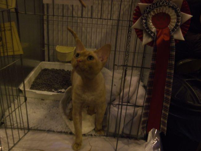 Daddy O Sphynx Breeders Of Sphynx Cats And Kittens Ireland